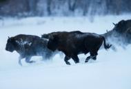 bison-bonasus-luty-2010-bieszczady-gles4657-copy