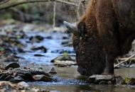 bison-bonasus-pazdziernik-2011-bieszczady-maniow-gles2440-copy