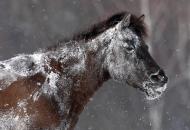 equus-ferus-marzec-2010-bieszczady-wolosate-gles7198-copy