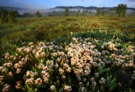 torfowisko-czerwiec-2009-bieszczady-tarnawa-gles2486-copy